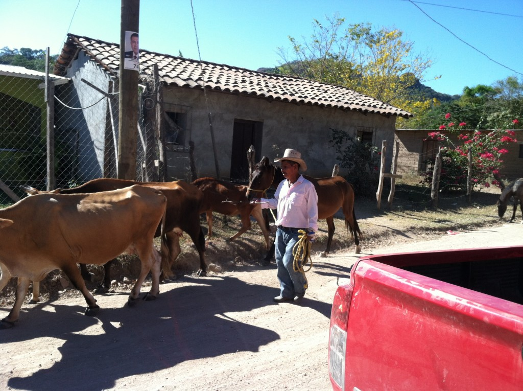Rush hour near Reitoca, Honduras. Local farmer herds his cattle (ganado) through town either to a pasture or to the river in the morning and then herds them back through town each afternoon to his farm.